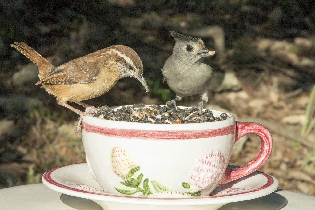Wren and Titmouse Sharing a Cup of Seed by gaylewood