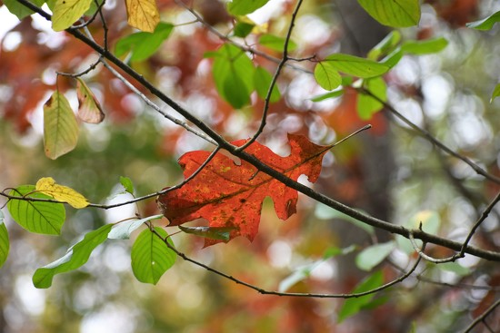Oake leaf by caitnessa