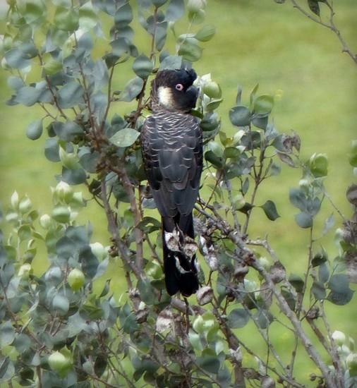 Black cockatoo by judithdeacon