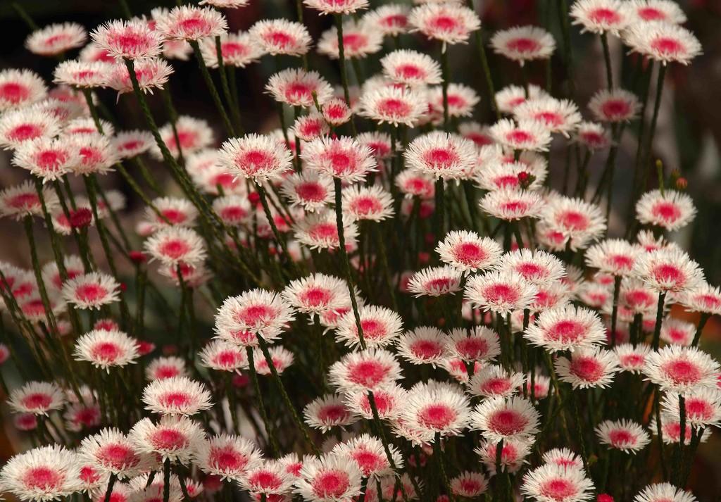 Wildflowers Western Australia by maureenpp