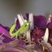 Baby Mantis by evalieutionspics