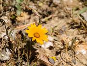 18th Oct 2017 - Orange Daisy