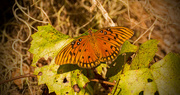 18th Oct 2017 - The Gulf Fritillary's are Still Here!