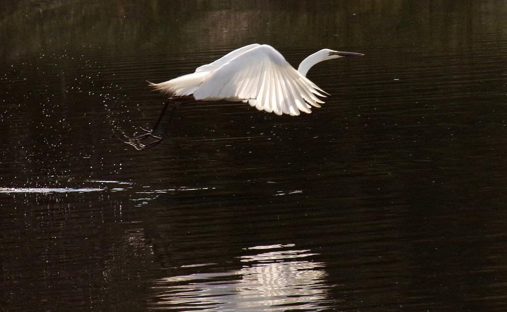 Great egret in flight by maureenpp