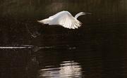 19th Oct 2017 - Great egret in flight
