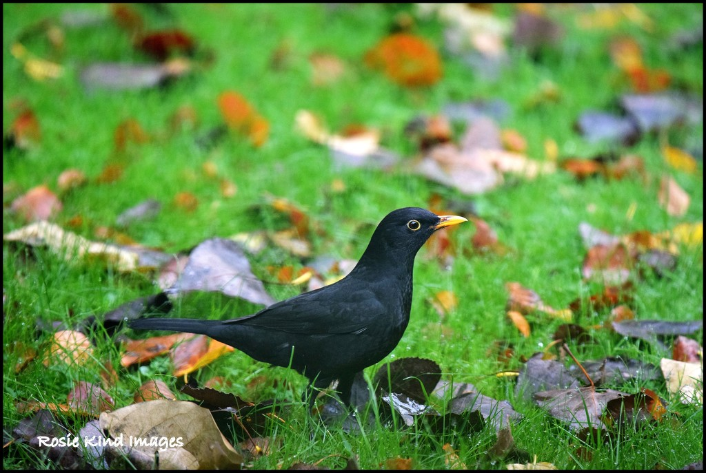 Blackbird in the autumn leaves by rosiekind