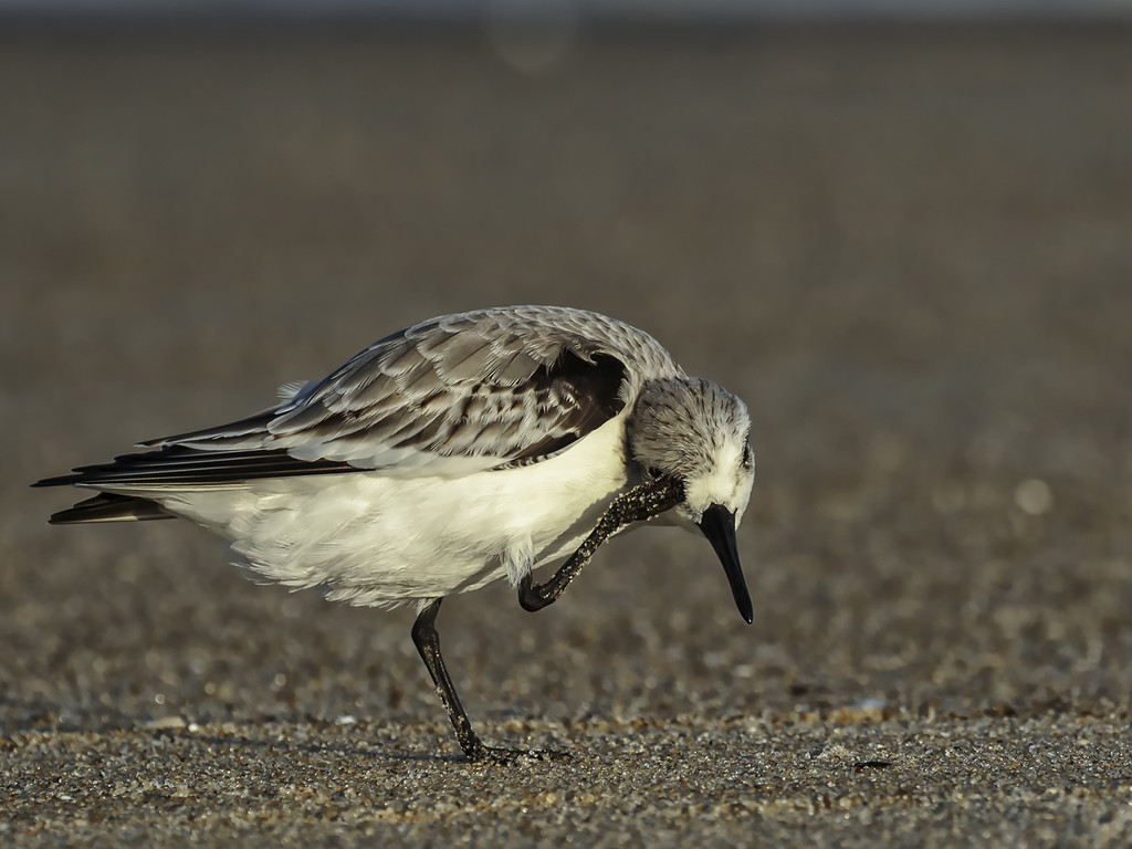 Chincoteague Sanderling for Camera Club by shesnapped
