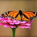 Beautiful Monarch by olivetreeann