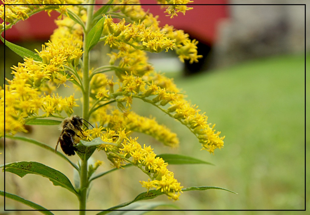 Bumble Bee on Golden Rod by olivetreeann