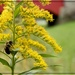 Bumble Bee on Golden Rod