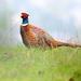 Cock Pheasant by dkbarnett