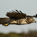 Hovering Hawk by kareenking