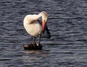 20th Oct 2017 - Preening pelican Canning River Perth Western Australia