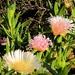 Iceplants in flower