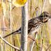 Song Sparrow Landscape