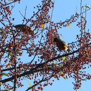 20th Oct 2017 - A crab apple feast