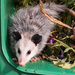 Baby Opossum Assists With Compost!