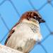 Hosue Sparrow Portrait