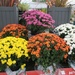Chrysanthemums at the Garden Centre