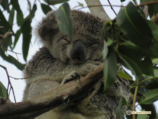 koala zen by koalagardens