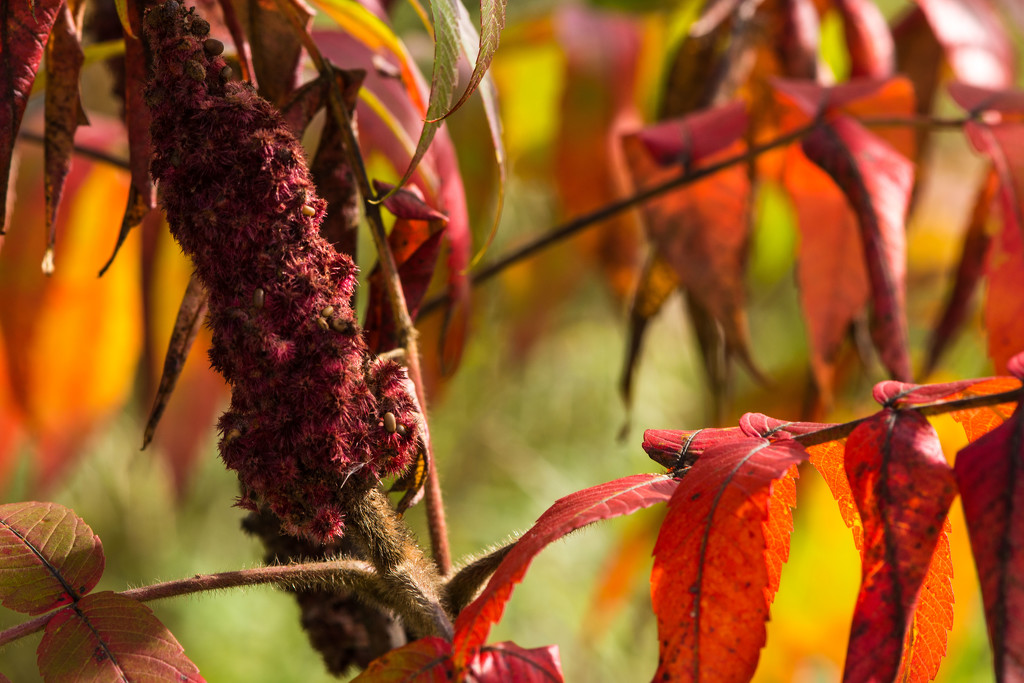 Sumac in the Fall by farmreporter