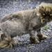 Masquerading as A Lion
