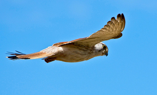 nankeen kestrel - another view by annied