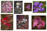 21st Oct 2017 - Western Australian wildflowers