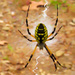 Unconcerned Orb Weaver by milaniet