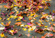 22nd Oct 2017 - Autumn leaves