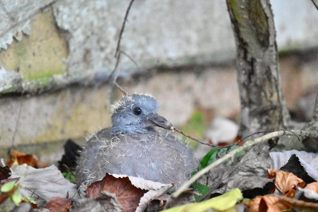 little fledgling wood pigeon by rosiekind
