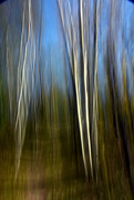 18th Oct 2017 - Birch Trees  in Autumn