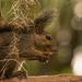 Grey Squirrel Having a Snack!