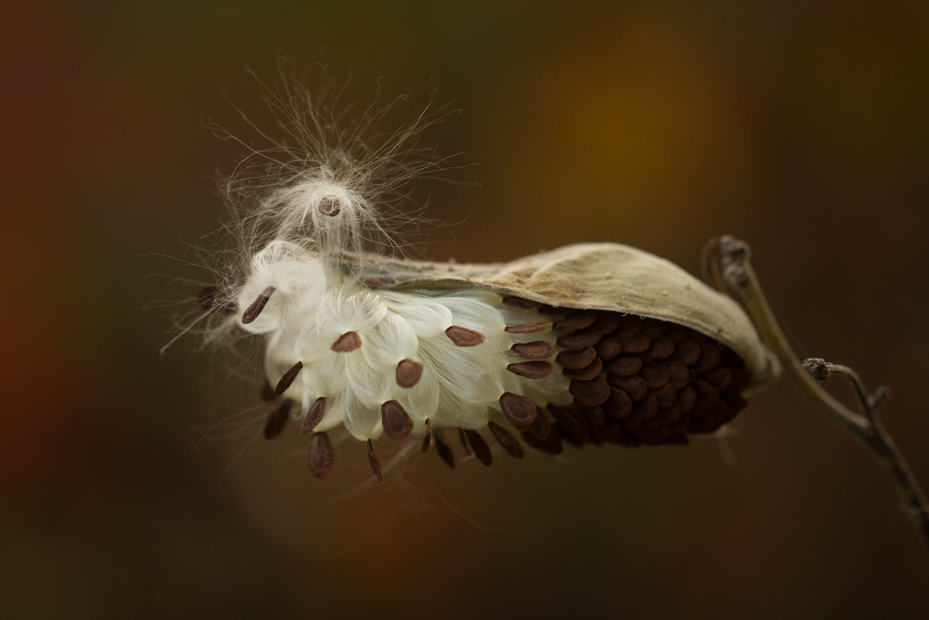 Fall colours and fuzzy seeds by adi314