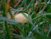 23rd Oct 2017 - Little fungi peeping through the grass
