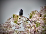 23rd Oct 2017 - Bird on the Blossom
