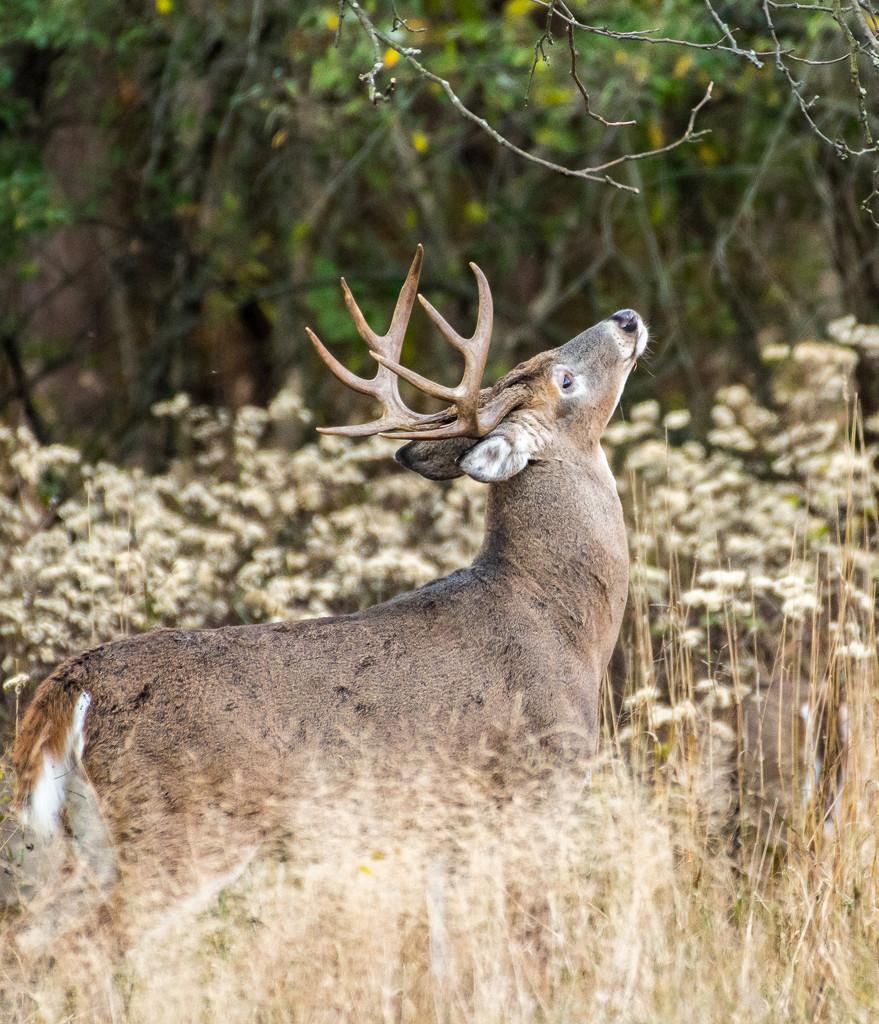 One fine buck by dridsdale