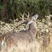 One fine buck
