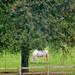 White pony under the apple tree..