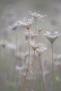 23rd Oct 2017 - Queen Anne's Lace!