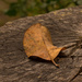 Leaf on the Stump!
