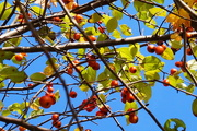 22nd Oct 2017 - Crab Apples.