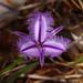 Western Australian wild flower by maureenpp