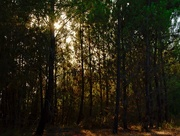 15th Sep 2017 - sunburst through the trees of a Portuguese forest