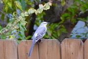 25th Oct 2017 - Our resident Mockingbird