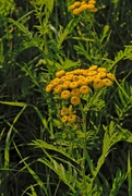 19th Sep 2017 - Tansy flowers