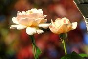 25th Oct 2017 - Autumn Roses