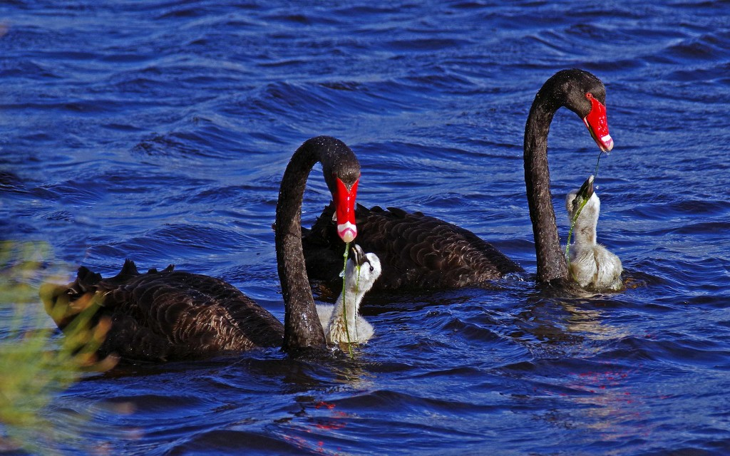 Feeding time on the Canning River Perth WA by maureenpp