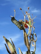 26th Oct 2017 - Feeding on milkweed