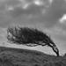 Windswept tree by rumpelstiltskin